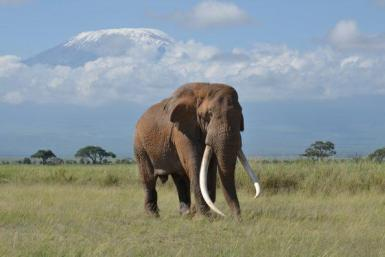 Tim-one-of-Africas-last-big-tusker-elephants-dies-at-50